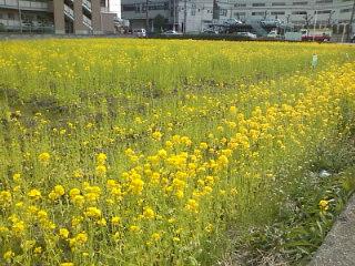 早咲きのさくら2