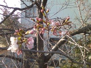 咲きはじめのさくら