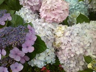 雨の朝の紫陽花