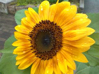雨の朝の向日葵