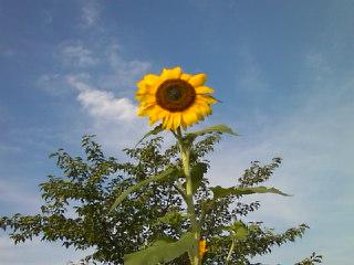 赤と黄の向日葵