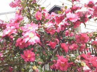雨の朝の山茶花