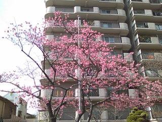 桜、咲きましたよ。