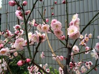 梅の花が咲いて