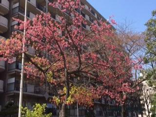 この桜と菜の花と