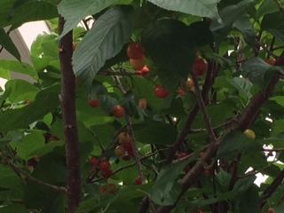 さくらの木の実